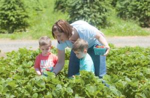Strawberry Picking Season at Linvilla Orchards